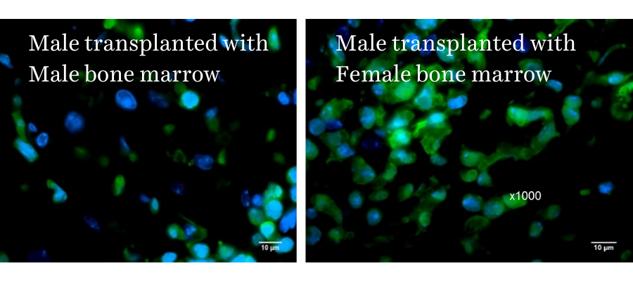 Female Bone Marrow Transplant (BMT) into Male mice increases BM-stem cell homing to heart after injury