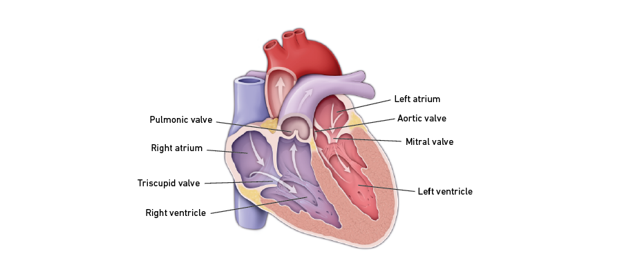 Normal Heart Valve Function Graphic
