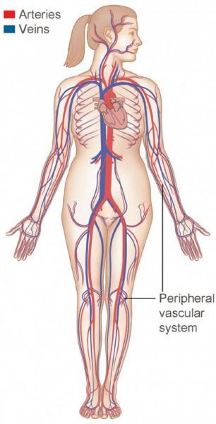 How The Heart Blood Vessels Work Heart Vascular