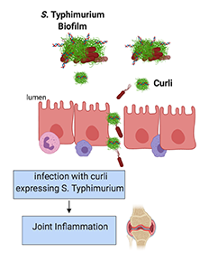 Curli-expressing Salmonella typhimurium triggers joint