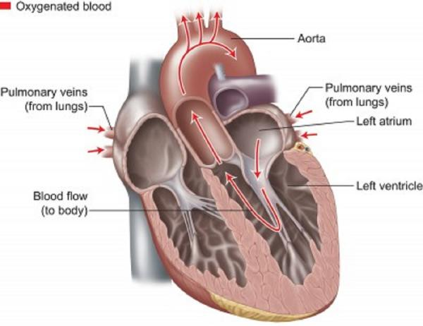 How the Heart & Blood Vessels Work | Heart & Vascular